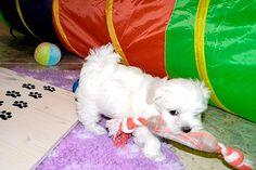 Adorable Paws / B-Wurf Malteser Welpe, 14.01.2015, 8 Wochen alt, Züchter Daniela Krüger