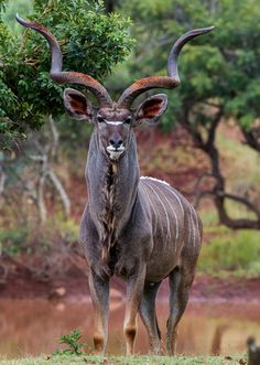 Kudu. Image courtesy of <a href=