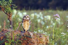 short-eared owl - asio flammeus. Photo: Mika Rantaharju