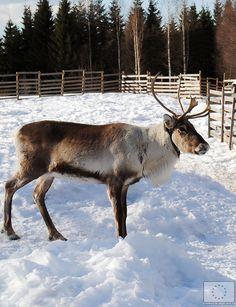 Valkeisen Loma Ähtärissä © Saana Kormano, 2013 Finland, Moose Art, Animals, Animales, Animaux, Animal, Animais, Dieren