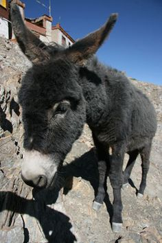 cute Burros Donkey from Mexico.It seen everywhere in the countryside