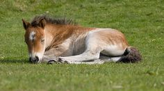 Google Image Result for http://ponystar.webs.com/photos/Cute-Foals/Sleeping%2520Foal.jpg