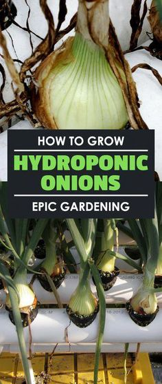 Learn how to grow hydroponic onions in this hydroponic root crop experiment I break it down and you Learn how to grow hydroponic onions in this hydroponic root crop experiment I break it down and you Melik Ak it nbsp hellip Hydroponic Vegetables, Hydroponic Farming, Hydroponic Growing, Hydroponics System, Hydroponic Gardening, Aquaponics Diy, Hydroponic Solution, Greenhouse Gardening, Indoor Vegetable Gardening