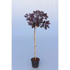 Parykbusk (Cotinus coggygria 'Royal Purple') opstammet 60 cm