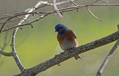 Hendry Life 14: Western Bluebirds are beautiful addition to the vineyard ambiance. #hendryvineyardlife