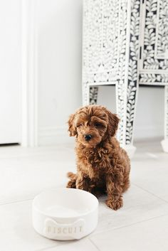 Super Cute Puppies, Cute Baby Dogs, Cute Little Puppies, Cute Dogs And Puppies, Pet Dogs, Doggies, Cute Dog Toys, Toy Goldendoodle, Cavapoo Puppies