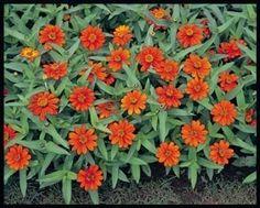 Pase Seeds - Zinnia Profusion Orange Annual Seeds, $3.29 (http://www.paseseeds.com/zinnia-profusion-orange-annual-seeds/)