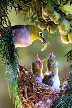 Oriental White-eye feeding the chicks