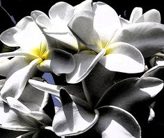 Abstract photo of tropical plumeria flowers.