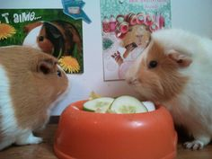 Abyssinian guinea pig / Rosette - Lilo on www.yummypets.com
