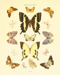 Antique Butterfly art Print Nature print Natural History Butterfly decor Home decor wall art garden art print Victorian art antique prints