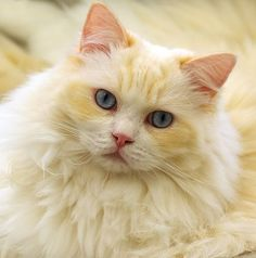 Pale Yellow ~ Cat