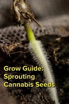 Grow Guide: Sprouting Cannabis Seeds