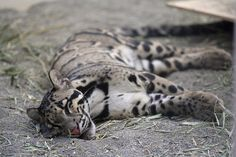 Clouded Leopards Photo: Clouded Leopard Wallpaper