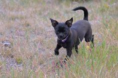 Black Chug Dog Pictures