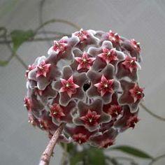 Flor-de-cera Vermelha (Hoya carnosa)
