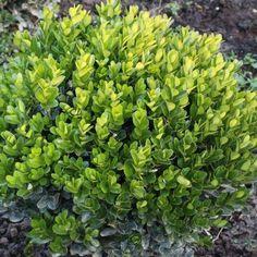 10 πανέμορφα φυτά για ζαρντινιέρες που ομορφαίνουν το μπαλκόνι! Buxus Sempervirens, Outdoor Pots, Shrubs, Flowers, Garden Ideas, Gardens, Plants, Outdoor Gardens, Shrub