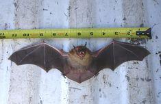 bat wingspan - Google Search