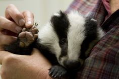European badgers - Google Search