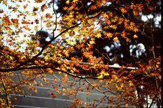 曼殊院門跡 1993年11月23日撮影