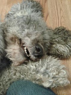 My Australian Labradoodle named Daisy Maye loves to smile!