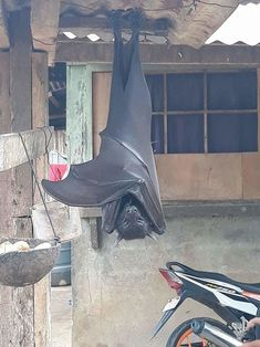 Animals Discover Flying Fox (megabat) in The Philippines. Bike for scale. Animals And Pets, Funny Animals, Cute Animals, Strange Animals, Unusual Animals, Philippines, Megabat, Fruit Bat, Golden Crown