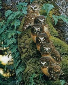 Family Tree PuzzleWarehouse com is part of Owl pictures - Literally, a Family Tree what a hoot! Six big eyed owls on a mossy tree A 1000 piece wildlife puzzle by artist Carl Brenders Beautiful Owl, Animals Beautiful, Cute Animals, Animals Dog, Beautiful Pictures, Owl Bird, Pet Birds, Rapace Diurne, Saw Whet Owl
