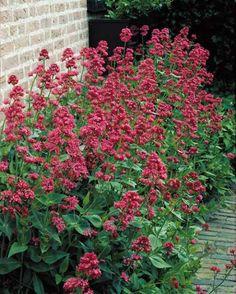 Valériane, 04/2016, fleurit de jt à spt, fleurs odorantes de couleur rose; feuillage caduc.Apprécie les endroits ensoleillés. Plantez-la dans un sol bien drainé, même pauvre et pas trop fertile. Supprimez les fleurs fanées afin qu'il n'y ait pas de formation de graines.  C'est une plante qui a l'avantage de se ressemer naturellement. On la cultive dans des massifs, dans des talus secs ou des rocailles.