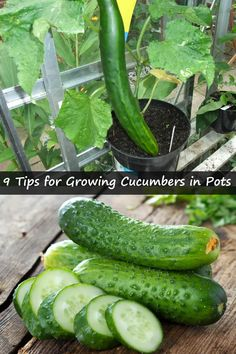 9 Tips for Growing Cucumbers in Pots Is growing cucumbers a matter of hit – miss affair for you? Cucumber Seeds, Cucumber Plant, Growing Vegetables In Pots, Container Gardening Vegetables, Growing Plants, Vegetable Gardening, Succulent Containers, Gardening Hacks, Gardens