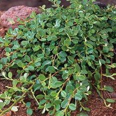 Cotoneaster procumbens - Queen of Carpets Herbs, Fruit, Garden, Plants, Carpets, Climbing, Coastal, Queen, Cover
