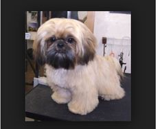 how to cut a lhasa apso dogs hair