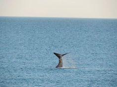 Ballenas en Punta del Marques en Rada Tilly.Chubut.