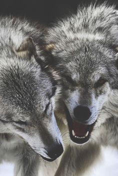 #wildlife #wolves #growling #wolf