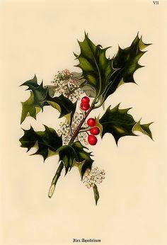 Ilex aquifolium ~ English Holly ~ vintage botanical print