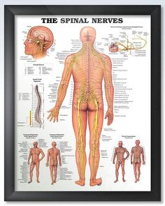 The Spinal Nerves 20x26 Anatomy Poster