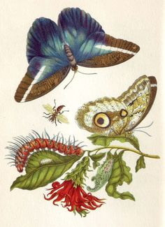 Maria Sibylla Merian began drawing flowers when she was little girl, but soon turned her attention to insects, a subject she found vastly more interesting.