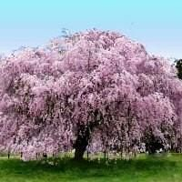 The Weeping Cherry is a spectacular, fast-growing tree of uncommon beauty. #PinMyDreamBackyard