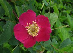 Rosa pendulina, rosa montanha