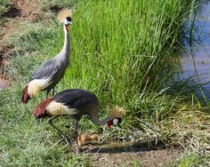 Grey crowned crane (Balearica regulorum) family