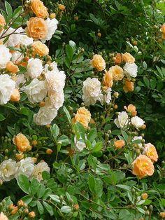 "Irish Roses ""Ghislaine of Féligonde"""