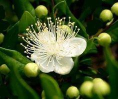 Mirto, Myrtus communis, Erbe medicinali, Piante medicinali