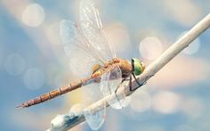 beautiful dragonfly wallpaper