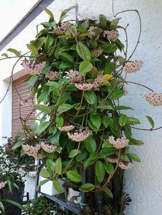 Bignonia amarilla o u a de gato macfadyena unguis cati for Pianta fiori di cera