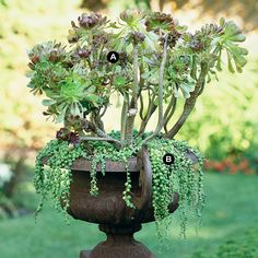 A wrought-iron urn elevated on a matching plinth block brings classic elegance to a garden. By using water-thrifty succulents, such as tree aeonium and trailing string of beads, maintenance of the planting is a snap. The tree aeonium gives the combination needed height, while string of beads soften the harsh metal edge of the urn.  A.	Tree aeonium (Aeonium arboreum) -- 3  B.	String of beads (Senecio rowleyanus) -- 3