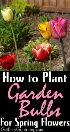 Fall is the best time to plant spring blooming garden bulbs. Add a ton of color to your garden. Trust me, in the spring you'll be happy you planted them now! Here's How To Plant Bulbs for Early Spring Blooms   GetBusyGardening.com
