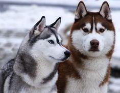 Popular Siberian Husky Pictures for Dog Lovers Cute Husky, Husky Puppy, Funny Husky, Shiba Inu, Husky Humor, Canadian Eskimo, Wolf Husky, Red Husky, Australian Shepherds
