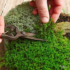 Make your own tabletop moss garden with these 5 simple steps! We even got good tips and tricks from moss expert, David Spain. Shade Garden, Garden Plants, House Plants, Potager Garden, Air Plants, Cactus Plants, Growing Moss, Plante Carnivore, Plantas Bonsai