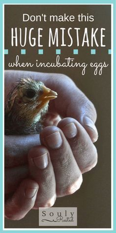 mistakes when incubating chicks | how to incubate chicken eggs | baby chicks | baby goats | homeschool | homestead | the simple life | SOULy rested in Christ | http://SoulyRested.com