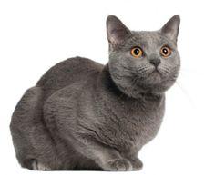 Carthusian cat Gatto certosino