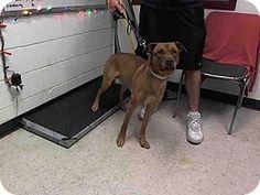 Mesa, AZ - Labrador Retriever Mix. Meet KIBA, a dog for adoption. http://www.adoptapet.com/pet/17246311-mesa-arizona-labrador-retriever-mix